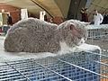 Wystawa kotów 189.JPG