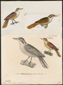 Xenops fuscus - 1700-1880 - Print - Iconographia Zoologica - Special Collections University of Amsterdam - UBA01 IZ19200205.tif