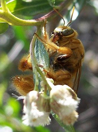Xylocopa varipuncta - Male Xylocopa varipuncta