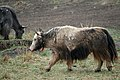 Yaks spotted along the roadside in Amdo.jpg