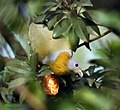 Yellow-footed Green Pigeon- Eating Chickoo I IMG 0744.jpg