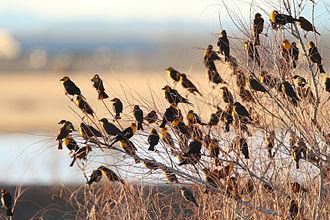 Yellow-headed blackbird - Roosting flock, Whitewater Draw, Arizona