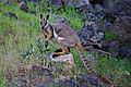 Yellow Footed Rock Wallaby.jpg