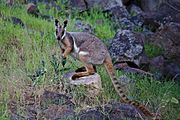A yellow-footed rock-wallaby in the wild