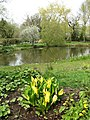 Yellow Skunk Cabbage (Lysichiton americanus) - geograph.org.uk - 774355.jpg