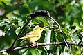 Yellow warbler at Trustom Pond National Wildlife Refuge. (4812359427).jpg