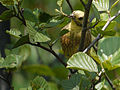 Yellowhammer, Biebrza National Park, Poland (4664598600).jpg