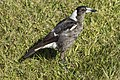 Young Magpie asking for food-1 (28650658873).jpg