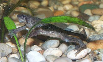 African dwarf frog - Note the black claws on hind legs