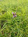 Young self heal in grass.jpg