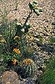 Yucca baileyi fh 1181.14 Sclerocactus whipplei ssp. cloverae fh 49 NM B.jpg