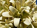 Yucca brevifolia flower.jpg