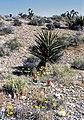 Yucca schidigera fh 1183.61 NV B.jpg