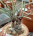 Yucca torreyi 1.jpg