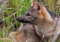 ZORRO DE MONTE - FOX OF MOUNT - Cerdocyon thous 2.png