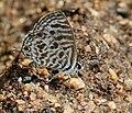 Zebra Blue (Leptotes plinius) in Hyderabad, AP W IMG 9613.jpg