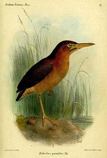 Zigzag heron Species of bird