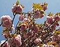 Zierkirschen Blüten - panoramio - Baden de.jpg