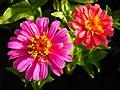 Zinnia Flowers گل آهاری 18.jpg