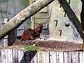 Zoo orangutang - panoramio.jpg