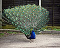 'Pavo' peacock at Blake End, Great Saling, Essex, England 03.jpg