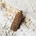 (0787) Bryotropha terrella - Flickr - Bennyboymothman (1).jpg