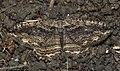 (1792) Dark Umber (Philereme transversata) (5897992327).jpg