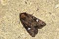 (2343) Common Rustic (Mesapamea secalis) (3708804877).jpg