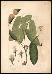 (Conepia carysocalyx, Benth)