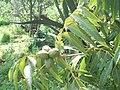 Árbol de nuez pecana.jpg