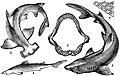 БСЭ1. Акулы.jpg