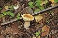 Белый гриб. Лес около Княгинихи. Савинский р-н. Ивановская обл. Август 2013 - panoramio.jpg