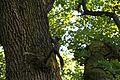 Веверица и храст.jpg