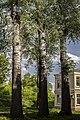 Група вікових дерев тополі білої 04.jpg