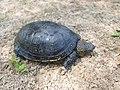 Европейская болотная черепаха.10.jpg