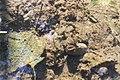 Перлівниця (Unio sp.) у природному середовищі. Сумська область, р. Сейм.jpg