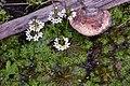 Плавушник болотний (Hottonia palustris).jpg