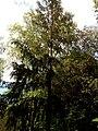 Прилуцький дендропарк Прилуцький район, м. Прилуки, вул. Вавилова, 16 74-107-500 12.jpg