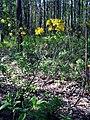 Рододендрон жовтий (Rhododendron luteum) на межі заказника Волосне.jpg