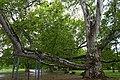 Споменик природе Платан код Милошевог конака.jpg