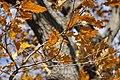 Споменик природе - стабло храста цера у Доњој Црнући крај Горњег Милановца 11.jpg