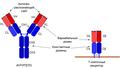 Структура иммуноглобулина и Т-клеточного рецептора.png
