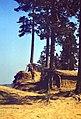 Ходульные сосны.1982. - panoramio.jpg