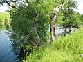 Щекино, дерево у пруда (6985126393).jpg