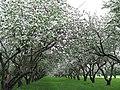 Яблоневый сад - panoramio (1).jpg