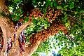 עץ הפיקוס ליד היכל התרבות תל אביב.jpg