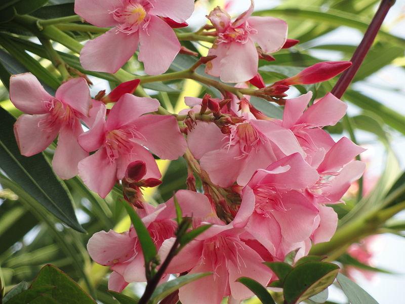 oleander hiroshima