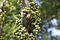 มะเดื่ออุทุมพร Ficus racemosa L (15).jpg