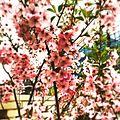 まだ咲いてたよ! -sakura (16472718274).jpg