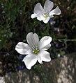 亞麻屬 Linum austriacum -哥本哈根大學植物園 Copenhagen University Botanical Garden- (36724154820).jpg